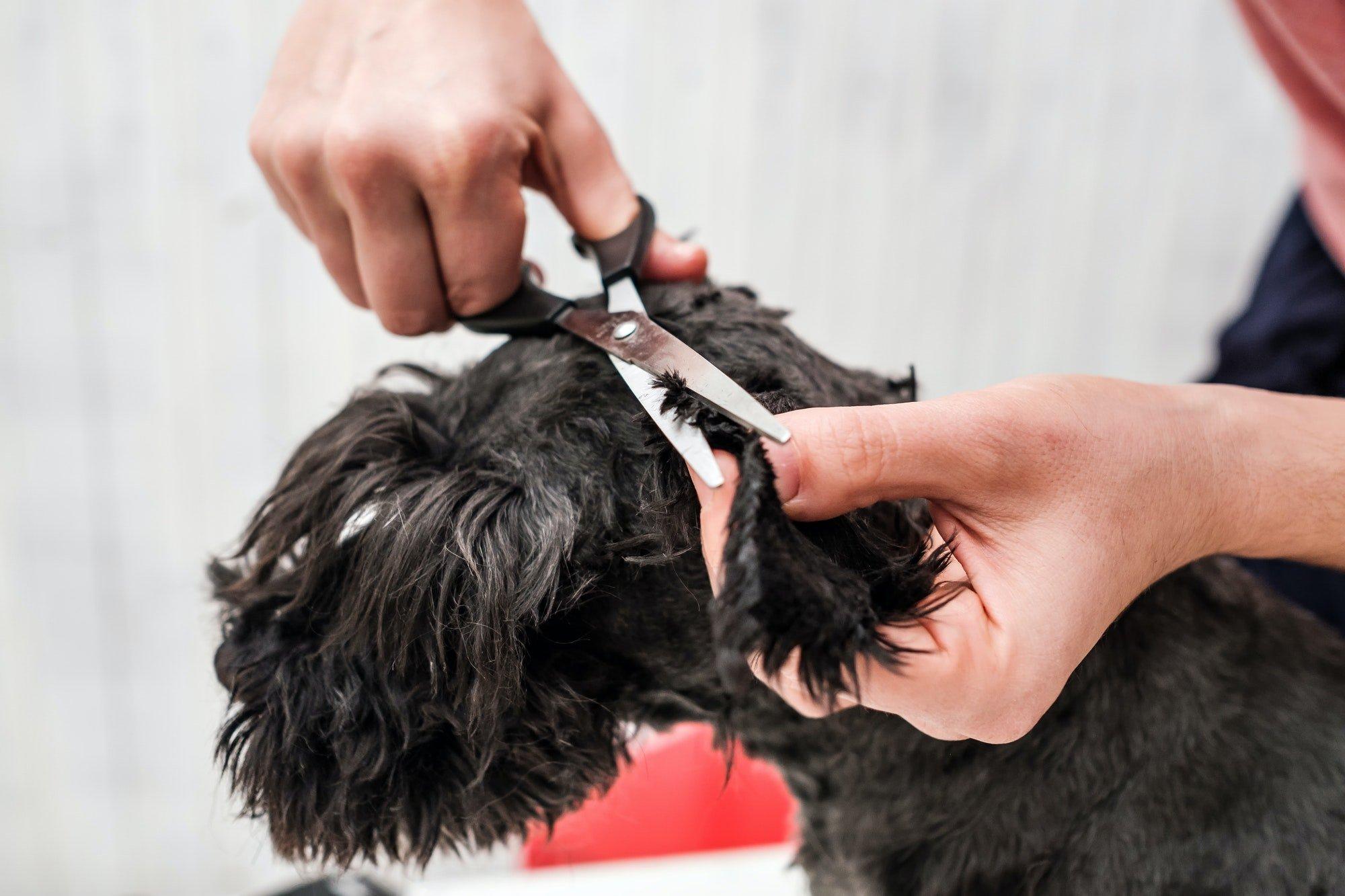 shave dog to prevent a flea infestation