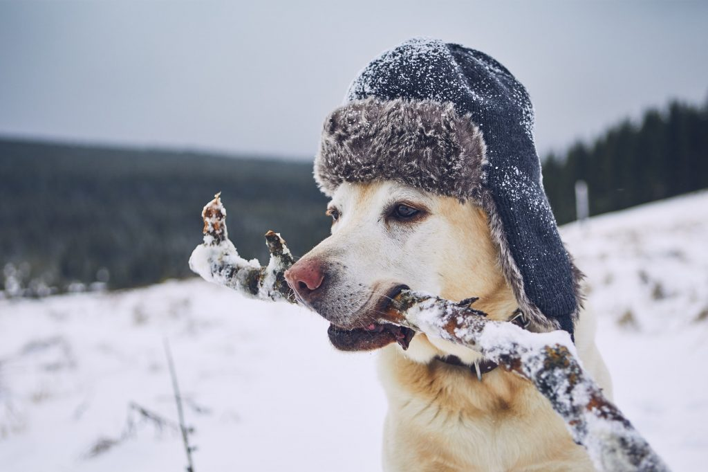 important safety tips to keep your dog healthy during winters